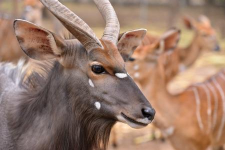 close up of female and male nyala head ( tragelaphus angasii ) photo