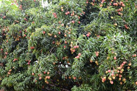 lichi: fresh lichi on tree in lichi orchard