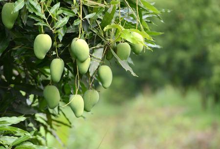 mango: świeże mango na drzewie w sadzie