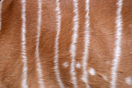 textured of nyala fur photo