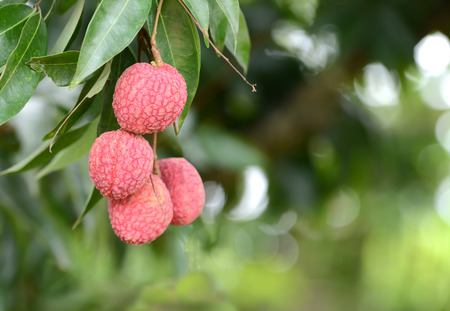 leechee: fresh lichi on tree in lichi orchard