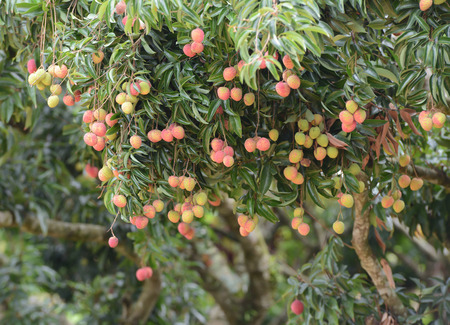 lychee: fresh lichi on tree in lichi orchard