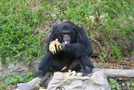 chimp: chimpanzee eating banana in zoo