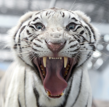 panthera tigris: picture of white bengal tiger aggressive expression Stock Photo