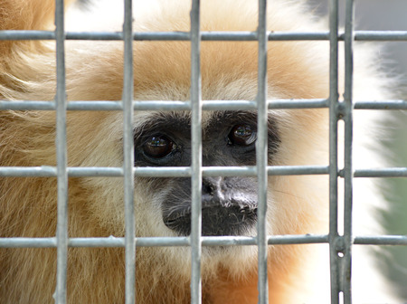 unhappy expression gibbon in cage photo