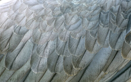 bellied: white bellie sea eagle feather close up