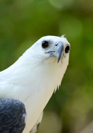 bellied: white bellie sea eagle in nature Stock Photo