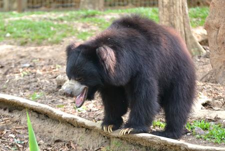 oso perezoso: oso perezoso o ursinus Melursus en el zoo Foto de archivo
