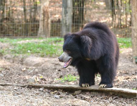 sloth: oso perezoso o ursinus Melursus en el zoo Foto de archivo