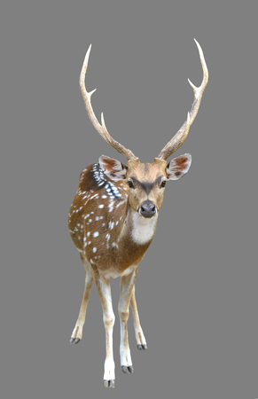 axis deer: male axis deer or chital isolated on gray background
