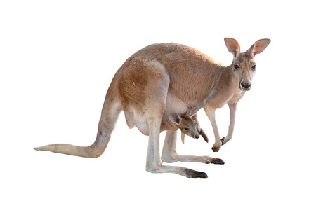 kangaroo with joey in pouch Archivio Fotografico