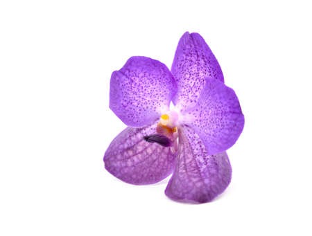vanda: beautiful blooming orchid isolated on white background