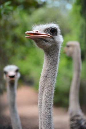 wild hair: close up of ostrich head Stock Photo