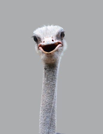 close up of ostrich head isolated on gray background