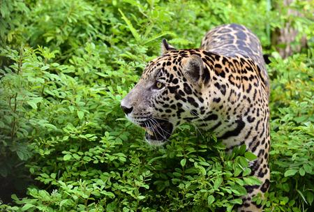 panthera onca: jaguar ( Panthera onca ) in nature