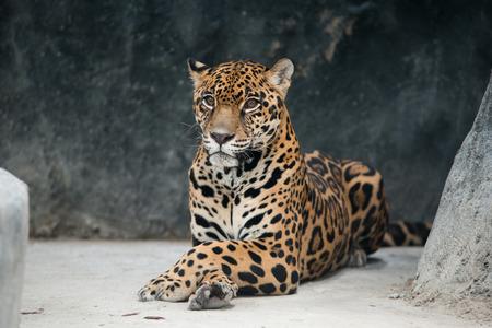 jaguar ( Panthera onca ) in zoo