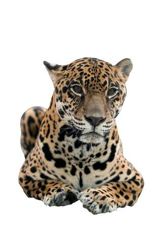 panthera onca: jaguar ( Panthera onca ) isolated on white background