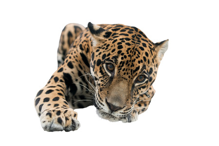 onca: jaguar ( Panthera onca ) isolated on white background