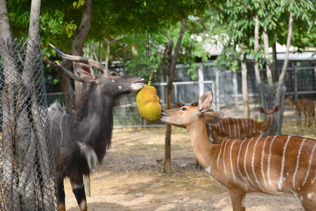 male and female eating jackfruit in zoo photo