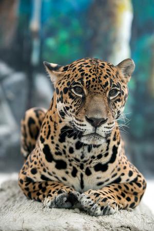onca: jaguar ( Panthera onca ) in zoo