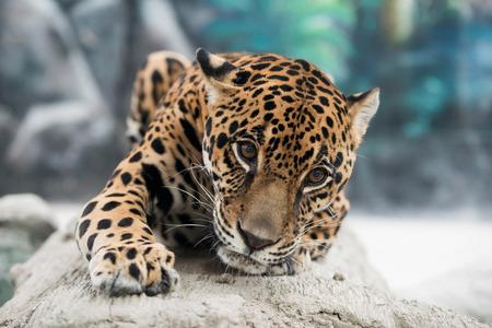 panthera onca: jaguar ( Panthera onca ) in zoo