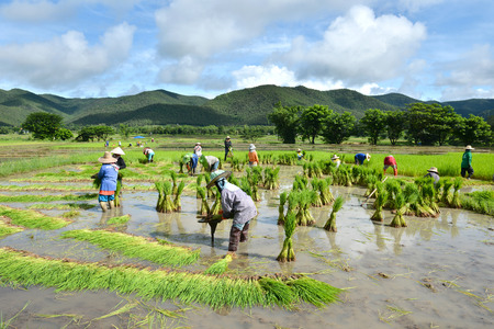 thailand boer werken in een rijst plantage Redactioneel