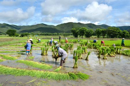 thailand farmer work in a rice plantation Editorial