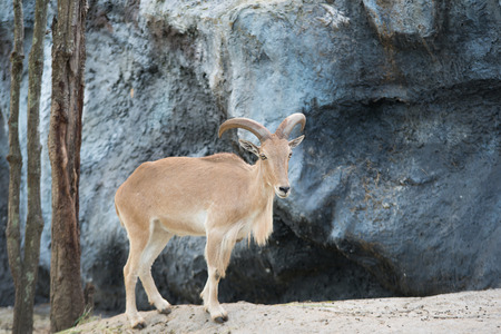 mountain goats: female Barbary sheep (Ammotragus lervia) standing on the rock