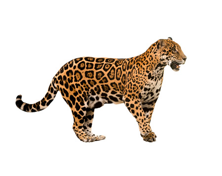 jaguar ( panthera onca ) isolated on white backgrond photo