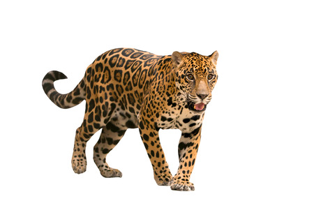 leopard: jaguar ( panthera onca ) isolated on white backgrond