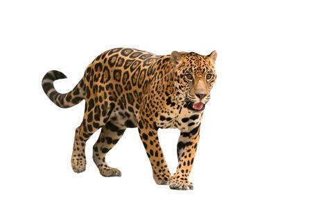 Jaguar (Panthera onca) isoliert auf weißem Grond Standard-Bild - 31266805