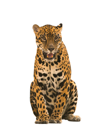 onca: jaguar ( panthera onca ) isolated on white backgrond