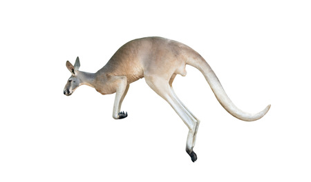 red kangaroo jumping isolated on white background Фото со стока