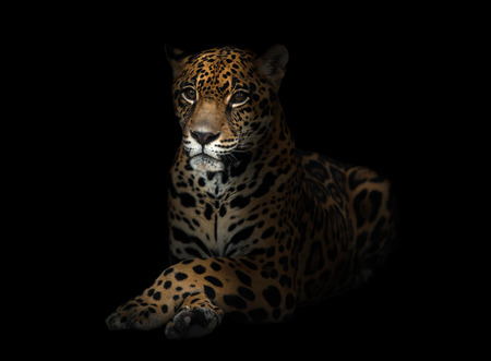 onca: jaguar ( Panthera onca ) in the dark night Stock Photo