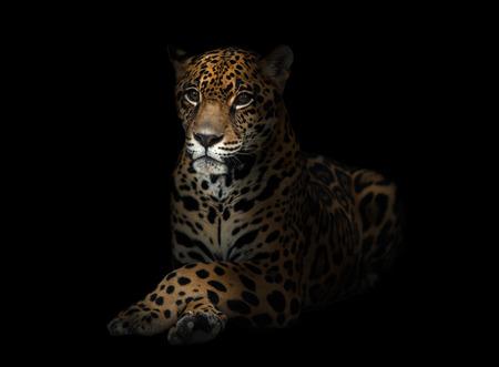 jaguar ( Panthera onca ) in the dark night Stock Photo