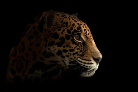 panthera onca: jaguar ( Panthera onca ) in the dark night Stock Photo