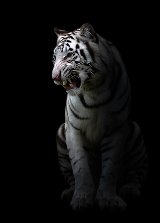 black and white panther: white bengal tiger in the dark night Stock Photo