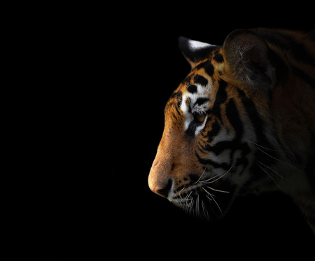 bengal tiger in the dark night