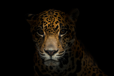 black and white panther: jaguar ( Panthera onca ) in the dark night Stock Photo