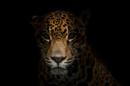 jaguar ( Panthera onca ) in the dark night Foto de archivo