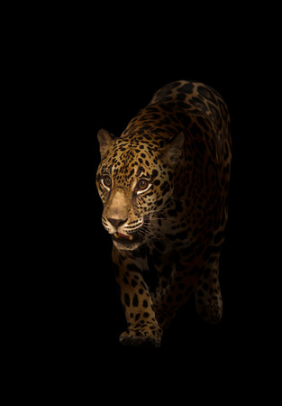 black and white panther: jaguar ( panthera onca ) in the dark night