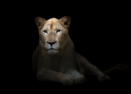 female white lion in the dark night