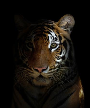 Bengaalse tijger hoofd in de donkere nacht Stockfoto