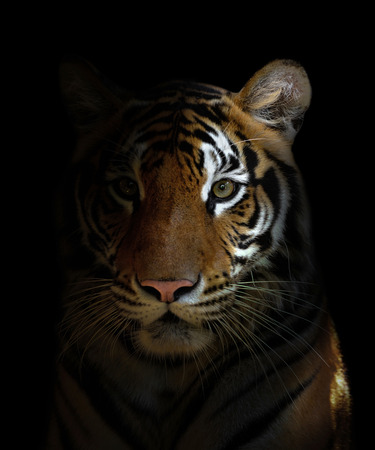 big head: bengal tiger head in the dark night