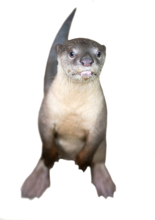 otter: Smooth coated otter ( Lutrogale perspicillata ) isolated on white background