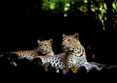 animales del zoologico: jajuar (panthera onca) que descansa sobre la madera