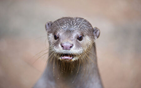otter: Smooth coated otter ( Lutrogale perspicillata ) Stock Photo