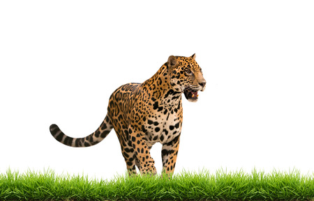 panthera onca: jaguar ( panthera onca ) with green grass isolated on white backgrond Stock Photo
