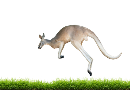 red kangaroo jump on green grass isolated on white background