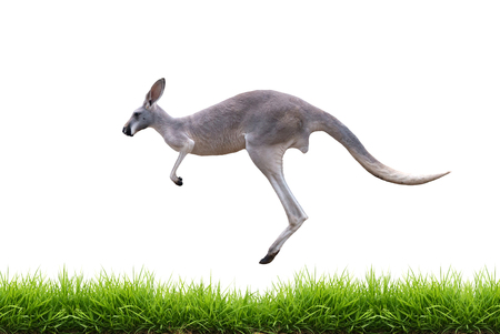 grey kangaroo jump on green grass isolated on white background